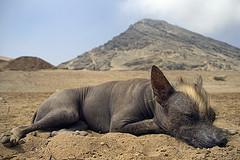 Peruvian Hairless Dog Nap