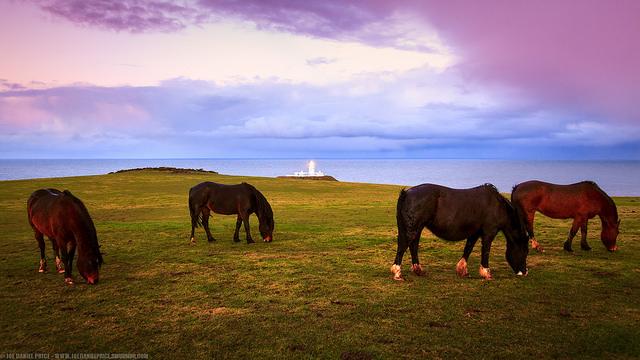 Horses at Strumble Head Lighthouse, Tresinwen, Pembrokeshire, Wales