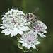 Abeille domestique/ (Apis mellifera) sur sur une grande Astrance (Astrantia major) Apiacées