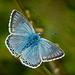 Chalk hill blue - (Polyommatus coridon) male