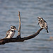 Pied Kingfisher | Ceryle rudis oleh jp.sulon